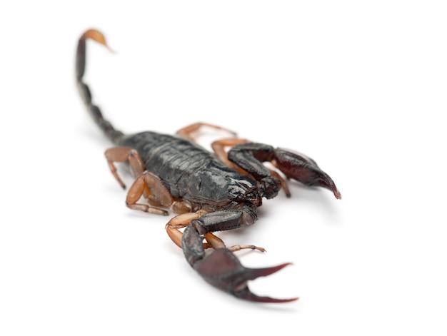 Europejski skorpion żółtogoniasty, euscorpius flavicaudis, na tle białej przestrzeni