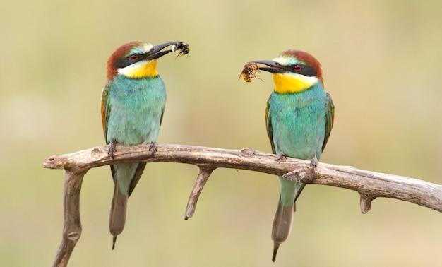 Europejski żołny. dwa ptaki siedzą na gałęzi ze zdobyczą w dziobie.