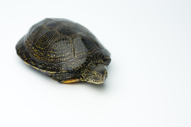 Europejski żółw błotny na białym tle strzelać w studio