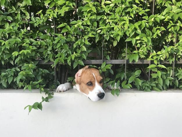Face twarz psa beagle przechodzi przez przesuwane ogrodzenie domu w akcji strażnika