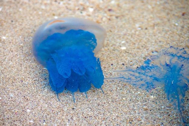 Fajna, niebieska meduza beczkowata. rhizostoma octopus pulmo. układanie na piasku.