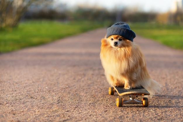 Fajny pomeranian w kapeluszu jeżdżący na deskorolce na drodze
