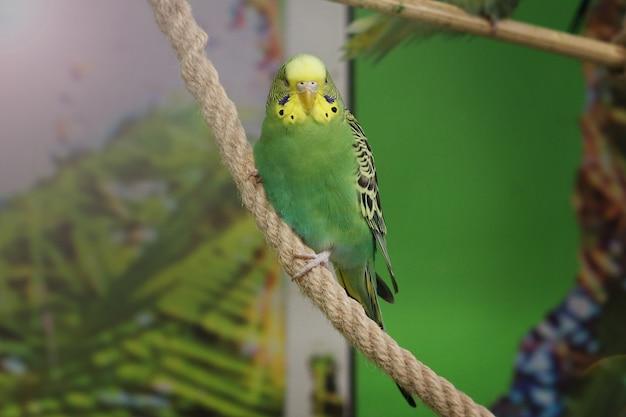 Falista zielona papuga wygląda do aparatu na zielonym tle