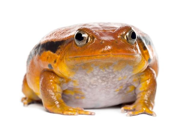 Fałszywa żaba pomidorowa, dyscophus guineti, portret na tle białej przestrzeni