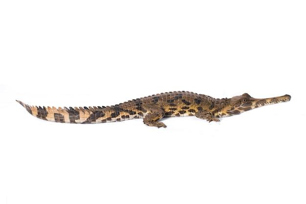 Fałszywy gharial tomistoma schlegeliiisolated na białym tle