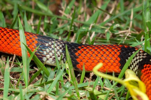Fałszywy wąż koralowy oxyrhopus guibei
