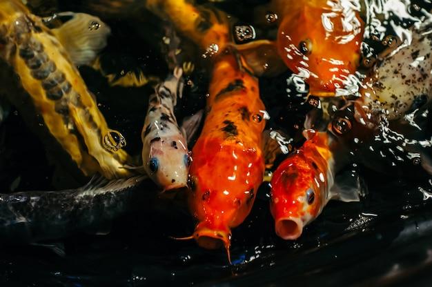 Fancy carp lub koi fish są czerwone, pomarańczowe, białe, czarne. widok karpia - bekko. dekoracyjna jaskrawa ryba unosi się w stawie. zbliżenie.
