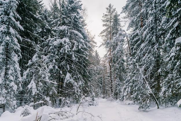 Fantastyczny magiczny bajkowy zimowy las. piękny malowniczy zimowy krajobraz dzikiej przyrody.