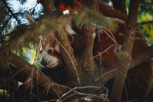 Fantastyczny portret uroczej czerwonej pandy