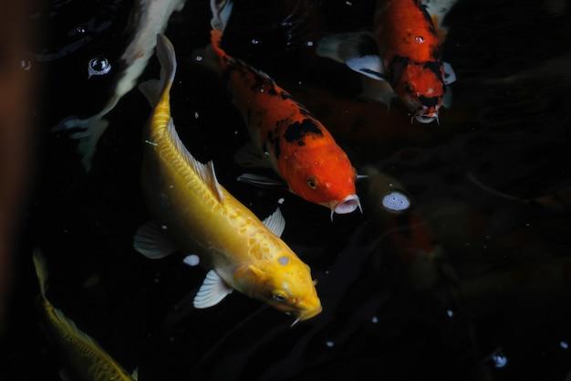 Fantazyjny karp pływa w stawie. fancy carps fish lub koi swim in pond, movement of swimming and space.