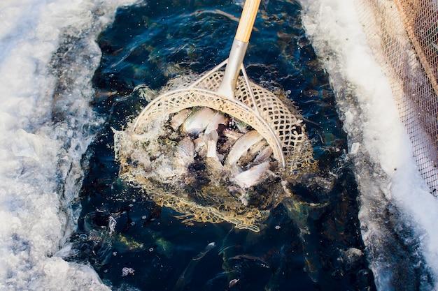 Farm pstrąg zimowy lód-jezioro rybne jezioro łowienie buławę