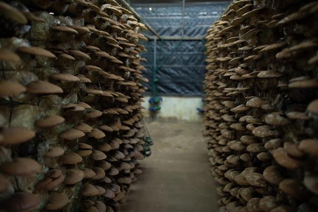 Farma grzybów, grzyby organic lingzhi, ostrygi i grzyby shiitake w plastikowej torbie