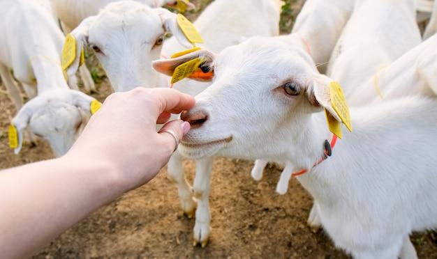 Farma kóz. zwierzęta gospodarskie i hodowlane na wsi. hodowla zwierząt na mleko i mięso