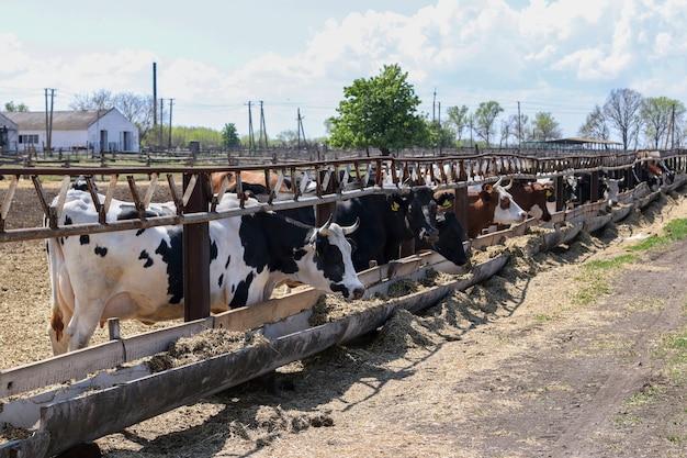 Farma mleczna krów na zewnątrz. krowy jedzą paszę. koncepcja zwierząt gospodarskich.