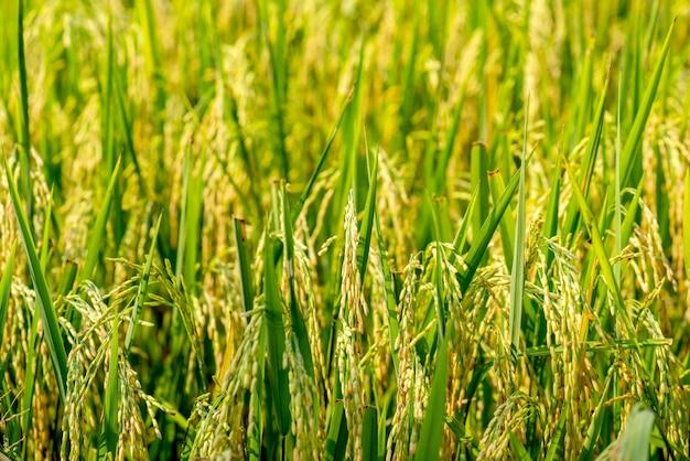 Farma ryżu - pole ryżowe - ryż niełuskany,