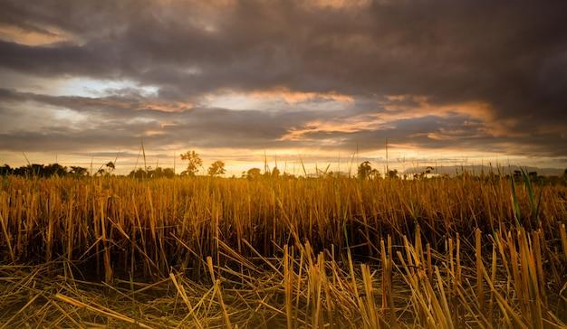 Farma ryżu. zarost na polu po zbiorach. suszona słoma ryżowa w gospodarstwie. krajobraz farmy ryżu ze złotym niebem słońca i ciemnymi chmurami. piękno natury. wiejska scena gospodarstwa ryżu. ziemia rolnicza.
