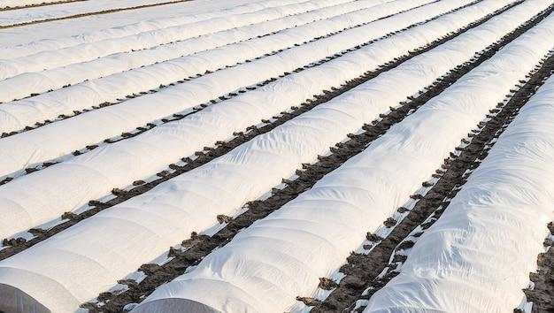 Farmowa plantacja ziemniaków osłonięta tkaniną rolniczą typu spunbond typu spunlaid efekt cieplarniany