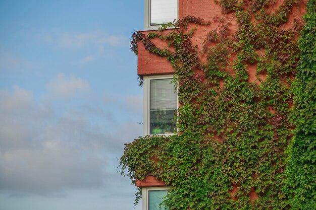 Fasada wielokondygnacyjnego budynku opleciona jest dzikimi winogronami.