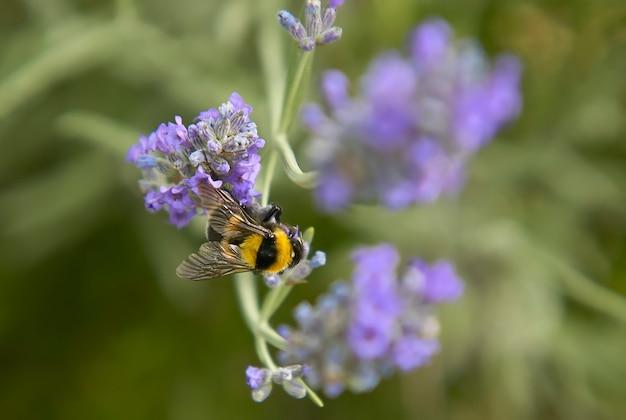 Fasola posadzona na fioletowym kwiecie w fazie zapylania w celu wyprodukowania miodu.