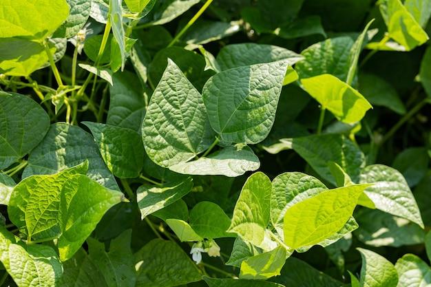 Fasola rosnąca w ogrodzie. własna żywność ekologiczna, fasola dojrzewająca w ogrodzie. wiejski krajobraz ze świeżym zielonym polem sojowym. pole soi