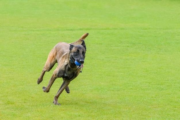 Fawn malinois biegnie na zielonej trawie