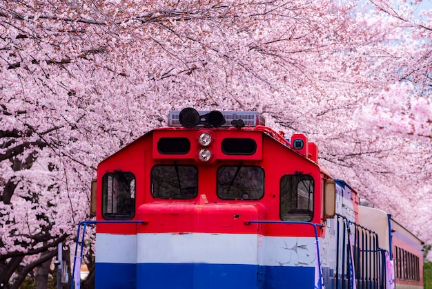 Festiwal kwiatów wiśni na stacji kolejowej gyeonghwa