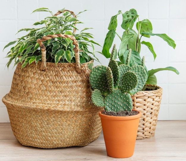 Ficus benjamin w koszu ze słomy, kaktus, rośliny domowe na stole