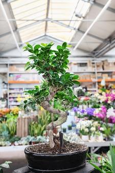 Ficus bonsai ginseng tree w sklepie z roślinami