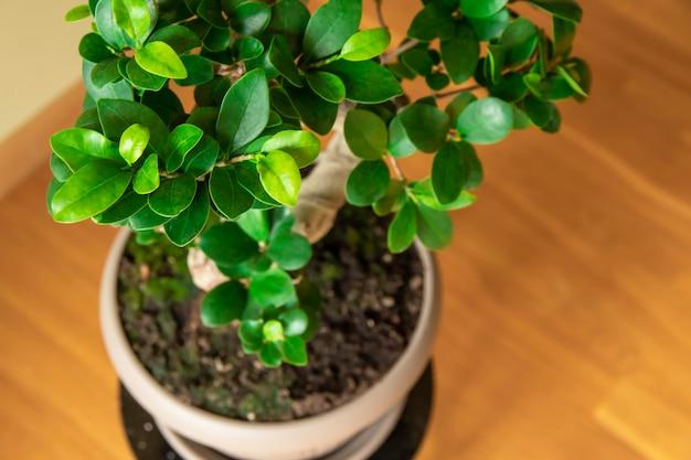 Ficus ginseng drzewko bonsai w plastikowej doniczce ficus microphylla ginseng roślina domowa