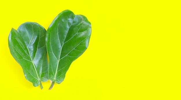 Ficus lyrate pozostawia na żółtym tle.