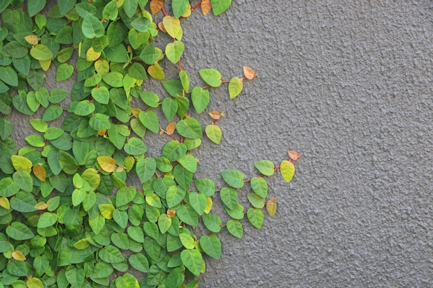 Ficus pumila świezi liście na ścianie szarość barwią tło projekt i dekorację w domu