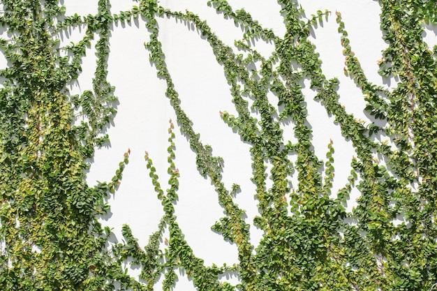 Ficus pumila wspinaczka na białej ścianie