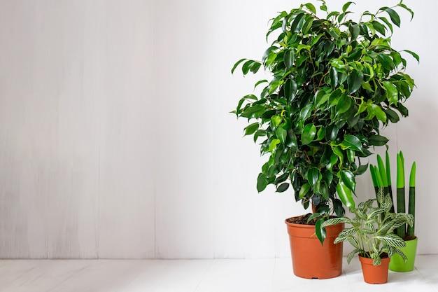 Ficus rośliny w brązowych doniczkach