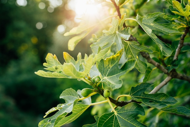 Figi na drzewie