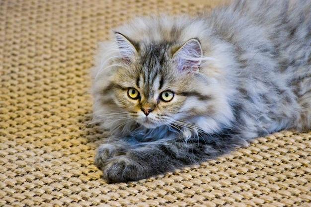 Figlarny długowłosy kotek perski szynszylowy kolor szary. domowy zwierzak. niegrzeczny kot.