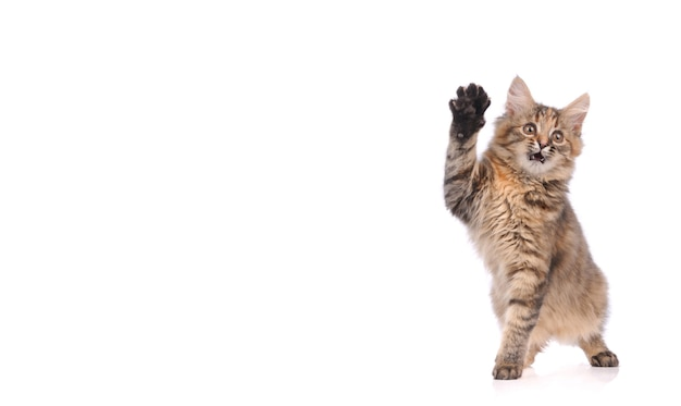 Figlarny kotek kot na białym tle