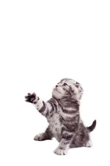 Figlarny kotek. zabawny kotek szkocki zwisłouchy podnoszący łapę i odwracający wzrok, siedząc na białym tle