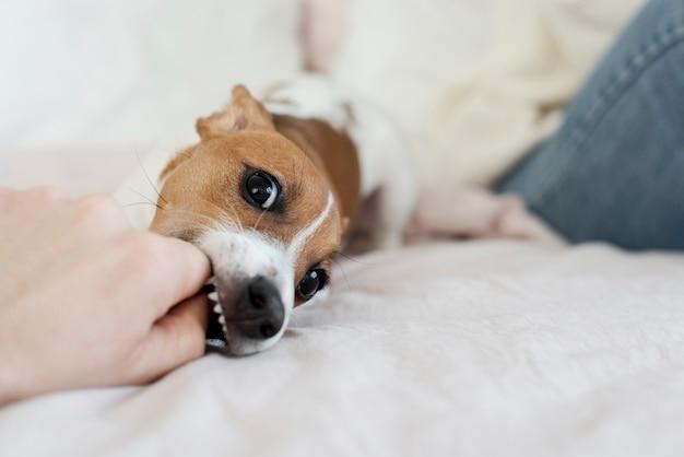 Figlarny pies w łóżku bawi się ręką właściciela