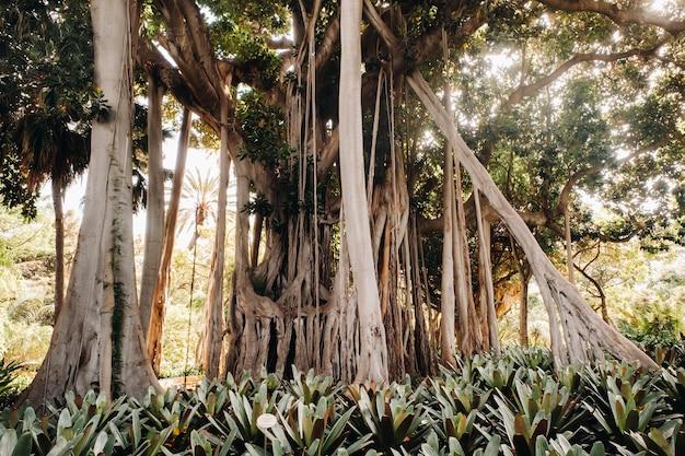 Figowiec olbrzymi, tropikalne rośliny ogrodu botanicznego, puerto de la cruz na teneryfie, wyspy kanaryjskie, hiszpania,