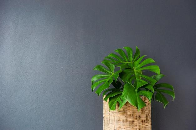 Filodendron w wiklinowych koszach na szarej ścianie.