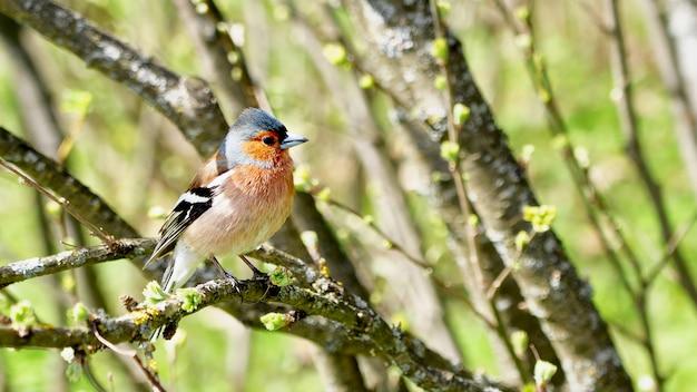 Finch siedzi na gałęzi