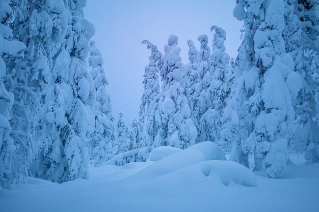 Finlandia. wieczorny zimowy las. dużo śniegu na ziemi i gałęziach drzew