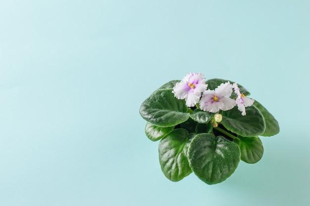 Fiołek z kwitnącymi kwiatami na turkusowym tle. widok z boku.