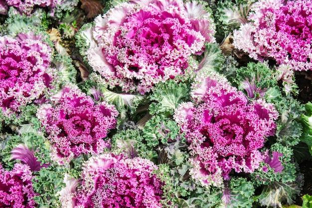 Fioletowa kapusta ozdobna to wspaniała dekoracja ogrodowa. wybierz ostrość.
