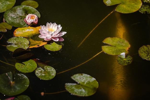 Fioletowa lilia wodna kwitnie w ciągu dnia