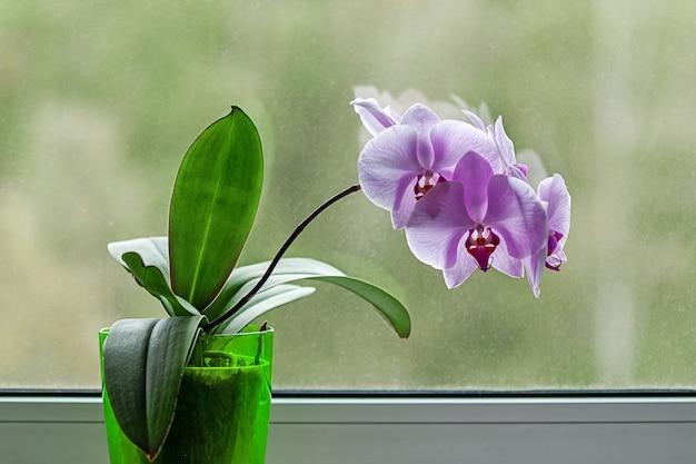 Fioletowa orchidea z kwiatami przy oknie