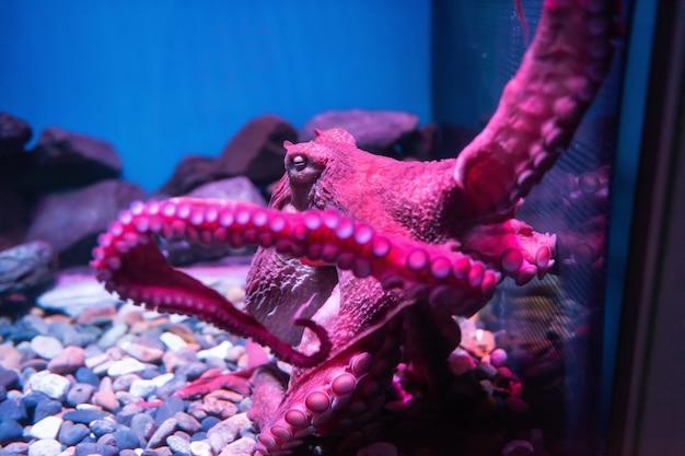 Fioletowa ośmiornica olbrzymia śpi na skale i przyczepia się do szkła karbinu rybnego w akwarium. aqua różowo-fioletowe zwierzę urządzone w parku rozrywki