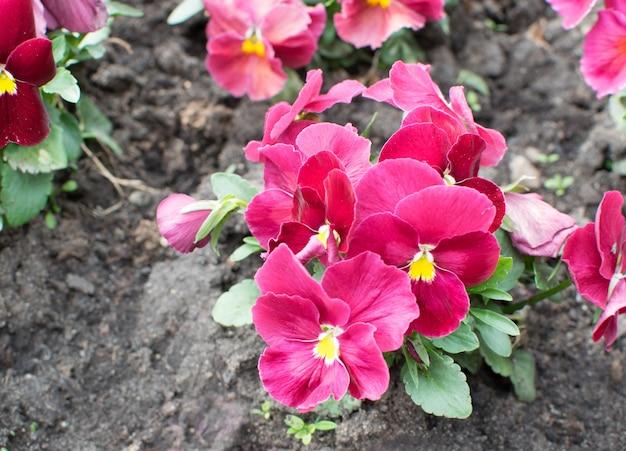 Fioletowe bratki lub kwietnik viola flowers