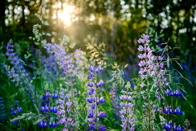 Fioletowe dzikie kwiaty łubin o zachodzie słońca w lesie