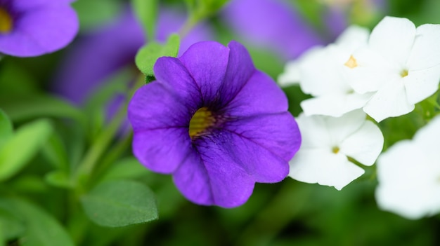 Fioletowe i białe kwiaty z bliska
